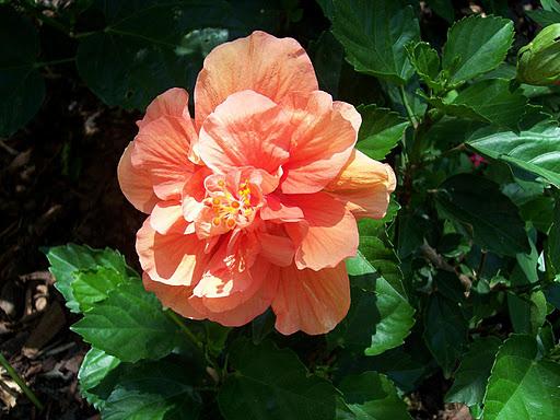 Hybuscus double orange
