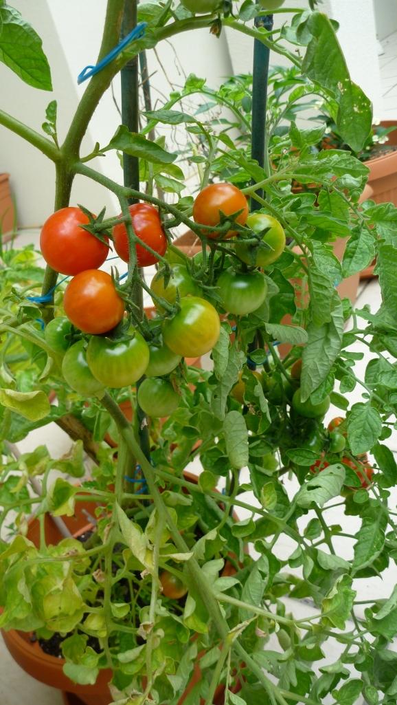 Tomato-plant-2